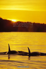 Killer Whales Orcas at Sunset