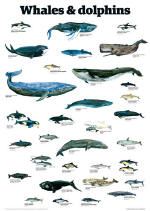 Whales and Dolphins Guardian Wall Chart Poster