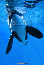 Orca Killer Whale Underwater print